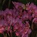 20120301 7363RAw Orchidee