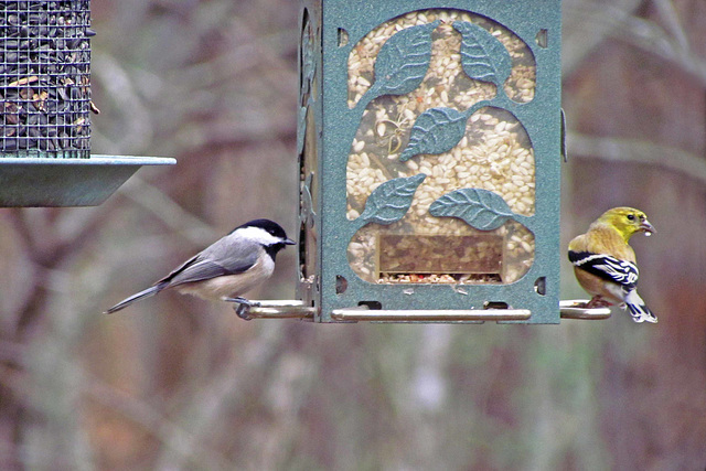 Goldfinch and Carolina Chickadee