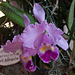 20120301 7355RAw Orchidee