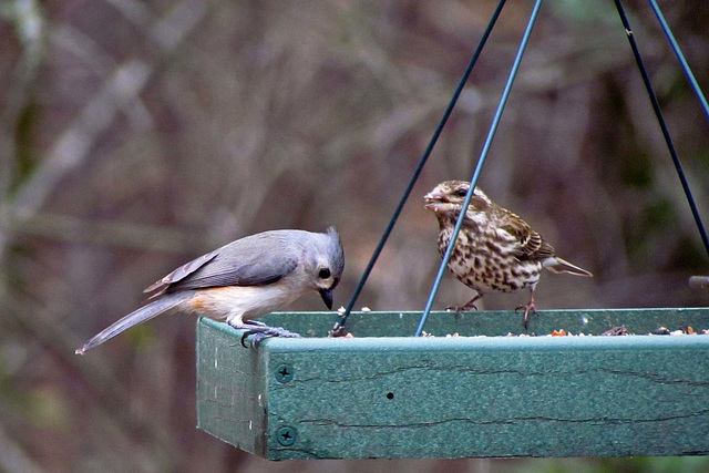 Tufted Titmouse and Purple Finch