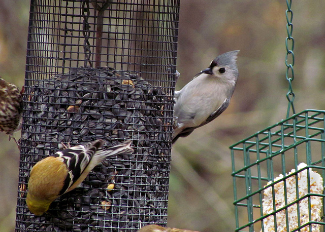 Goldfinch and Tufted Titmouse