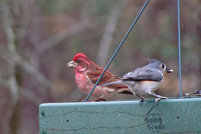 Male Purple Finch and a Tufted Titmouse