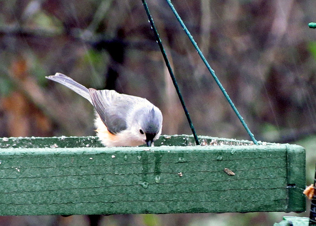 Tufted Titmouse on Icy Feeder