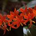 20120301 7343RAw Orchidee