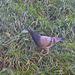petit pigeon