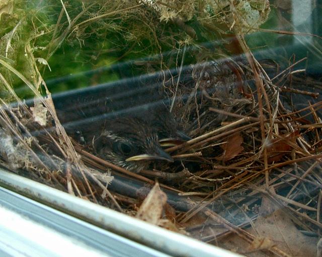 Baby wrens #1