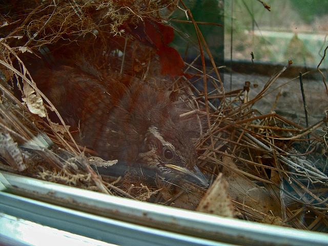 Baby wren #1
