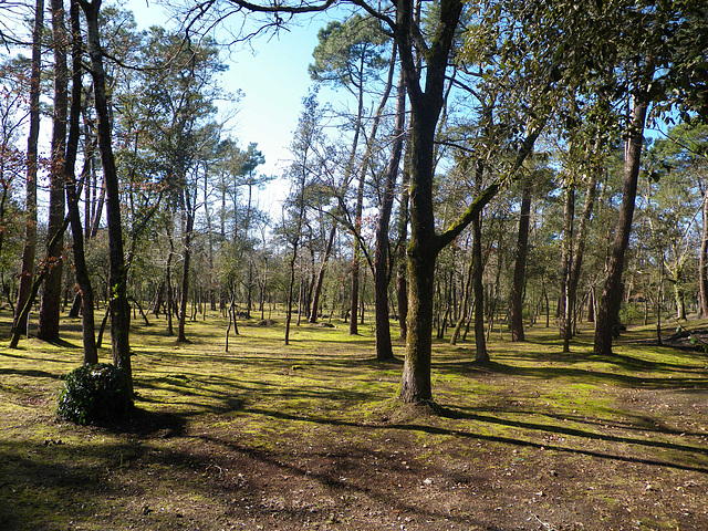 Forêt de pins, Ronce les bains.