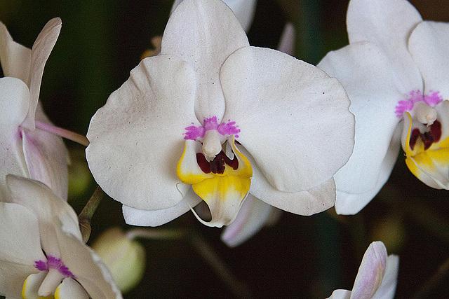 20120301 7338RAw Orchidee