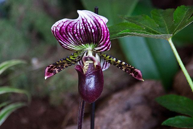 20120301 7337RAw Orchidee