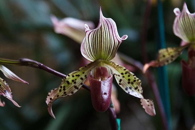 20120301 7335RAw Orchidee