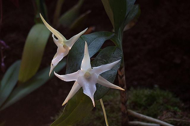 20120301 7331RAw Orchidee