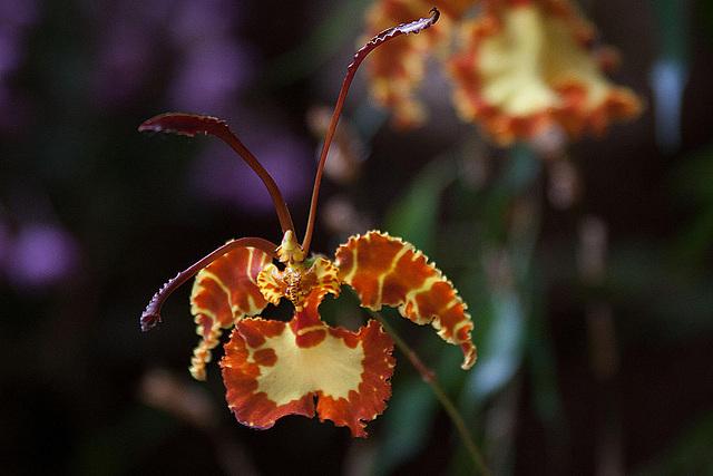 20120301 7329RAw Orchidee