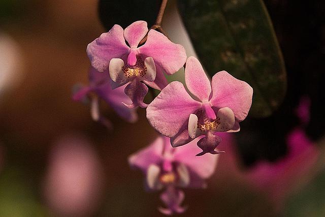 20120301 7324RAw Orchidee