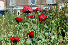 Poppies amongst the weeds.