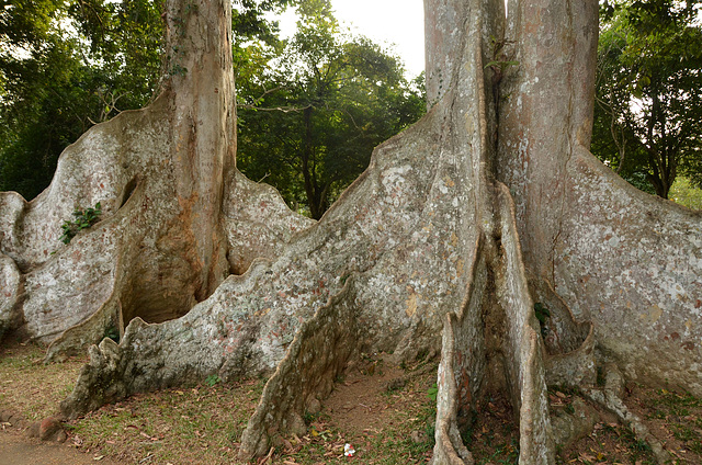 Buttress rooted trees. Sri Lanka