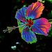 hibiscus arc en ciel