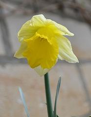 Narcisse DSC 0030