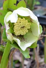 Hellebore orientalis DSC 0043
