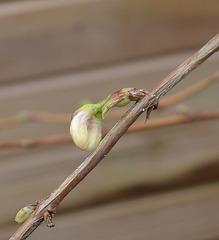 Lonicera fragrantissima  DSC 0054
