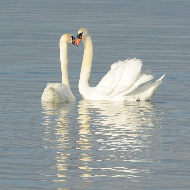 Couple de cygnes amoureux...