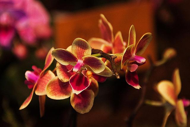 20120301 7317RAw Orchidee