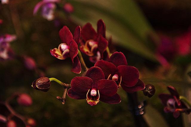 20120301 7316RAw Orchidee