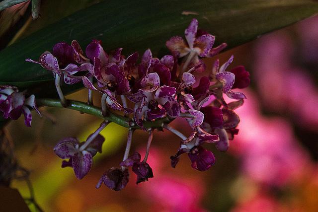 20120301 7314RAw Orchidee