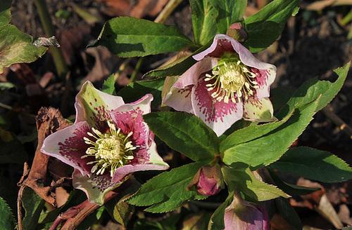 Helleborus orientalis hybride