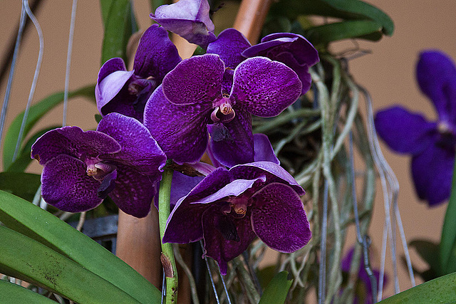 20120301 7299RAw Orchidee