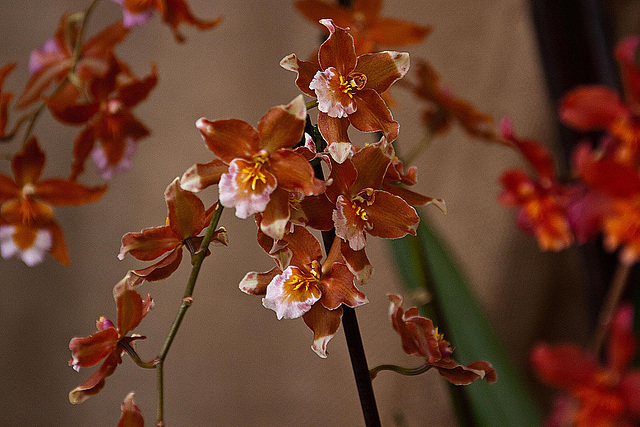 20120301 7291RAw Orchidee
