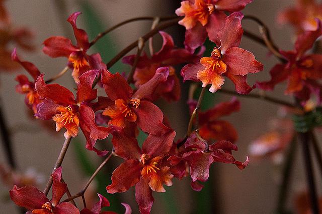 20120301 7289RAw Orchidee