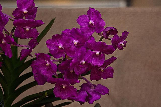 20120301 7285RAw Orchidee