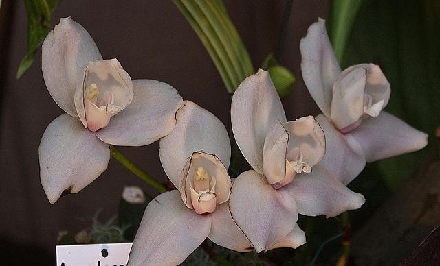 20120301 7282RAw Orchidee