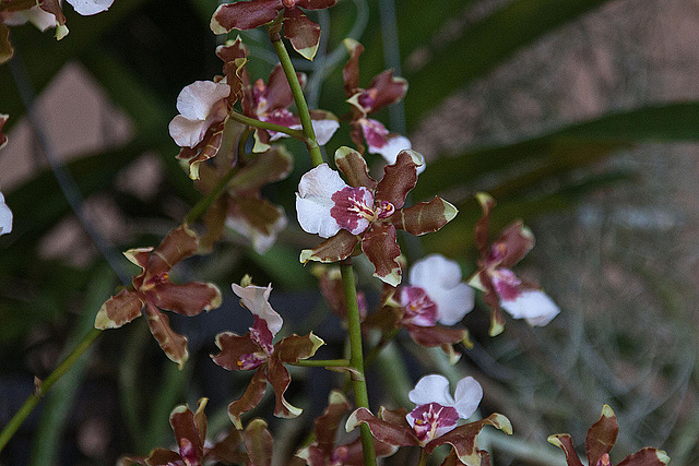 20120301 7281RAw Orchidee