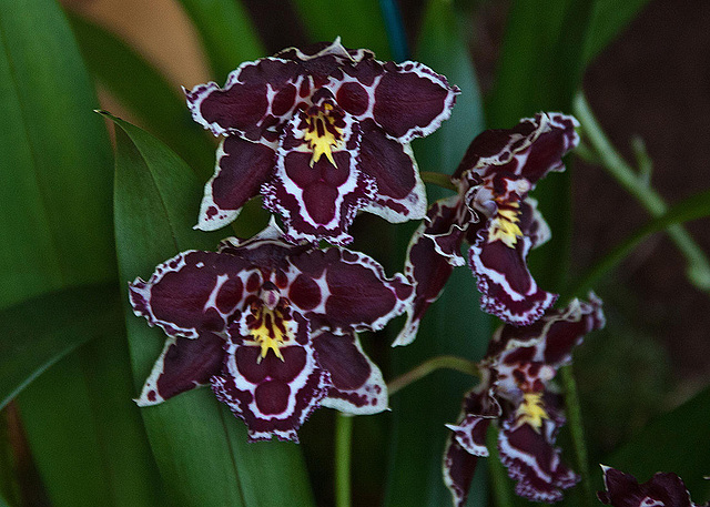 20120301 7276RAw Orchidee
