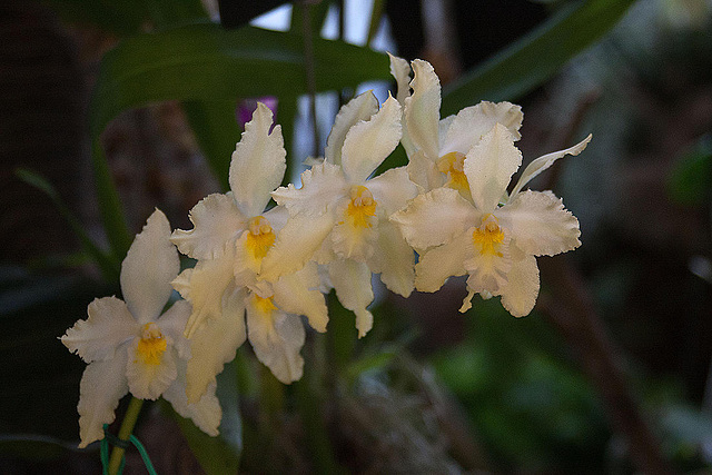 20120301 7272RAw Orchidee