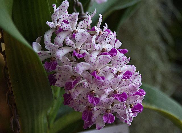 20120301 7271RAw Orchidee