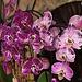 20120301 7267RAw Orchidee
