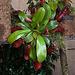 20120301 7263RAw Nepenthes ampullaria [Fleischfresser Kannenpflanze]