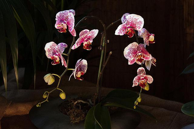20120301 7259RAw Orchidee