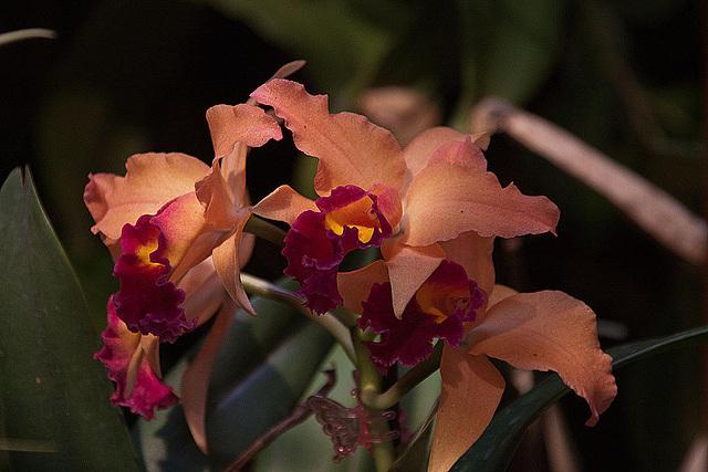 20120301 7258RAw Orchidee