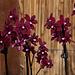 20120301 7253RAw Orchidee