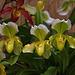20120301 7246RAw Orchidee