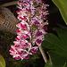 20120301 7244RAw Orchidee