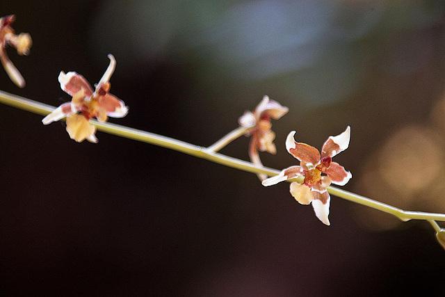 20120301 7236RAw Orchidee