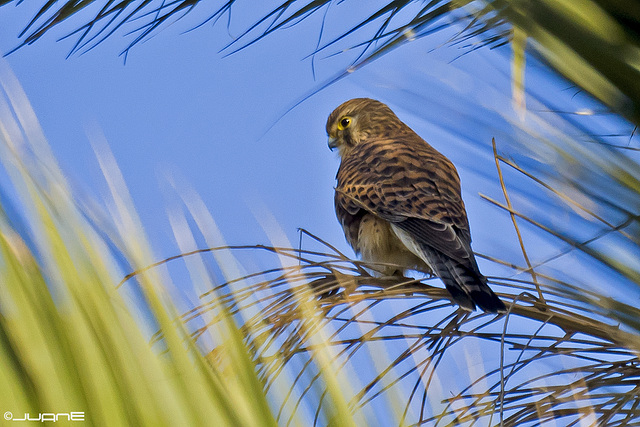 Cernicalo vulgar (falco tinnunculus canariensis)