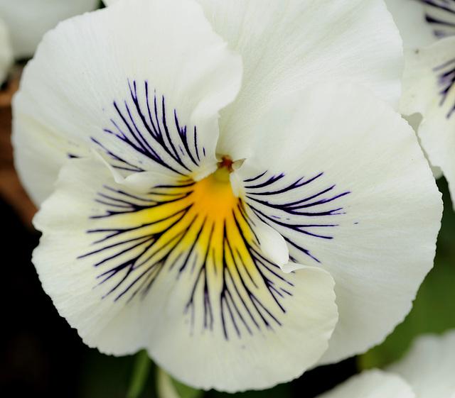 Fleur du jardin...
