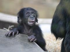 Bonobojunge Bobali (Wilhelma)