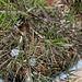 Grevillea rosmarinifolia après les gelées
